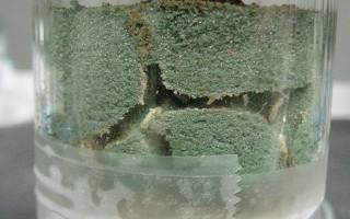 Laboratoire - termites dans de la mousse florale