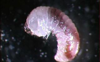 Lyctus larve