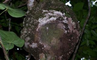 Termite nasutitermes nid